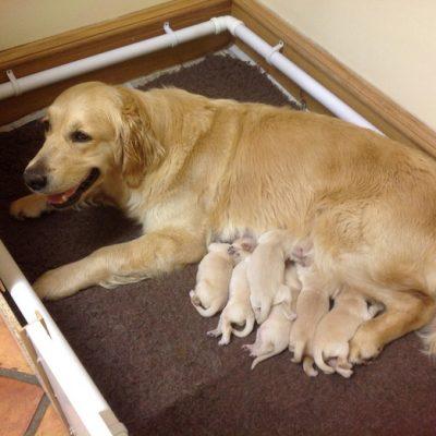Gunna x Scout pups