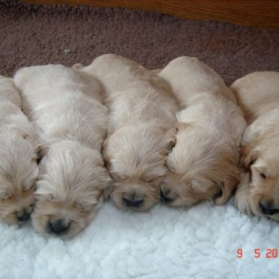 Pups from Sula & Jamie's litter 2010